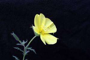 Sex and the Single Evening Primrose