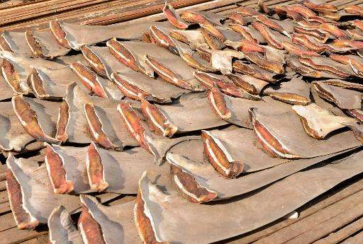 Shark fins, like these pictured in Indonesia, are coveted in Asia for medicinal and cooking uses