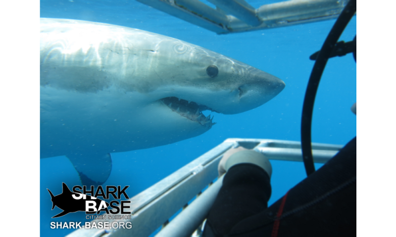 Shark researchers enlist the help of the public as citizen scientists