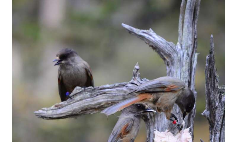 Siberian jays can recognize unfamiliar, distant relatives