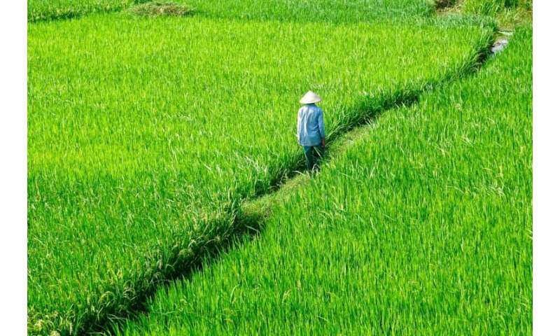 Silicon 'plant stones' for strong rice: Fertilizing & recycling Si in Vietnamese fields
