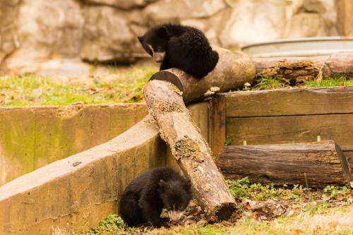 Smithsonian's National Zoo asks public to name Andean bear cub brothers