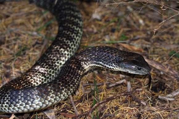 Snake danger on the rise