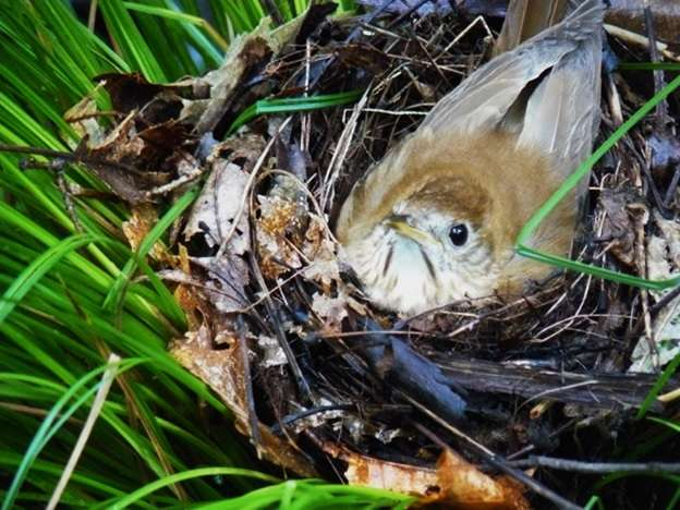Songbirds find success nesting in introduced shrubs