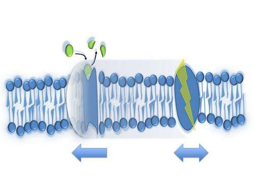 Sonic booms in nerves and lipid membranes