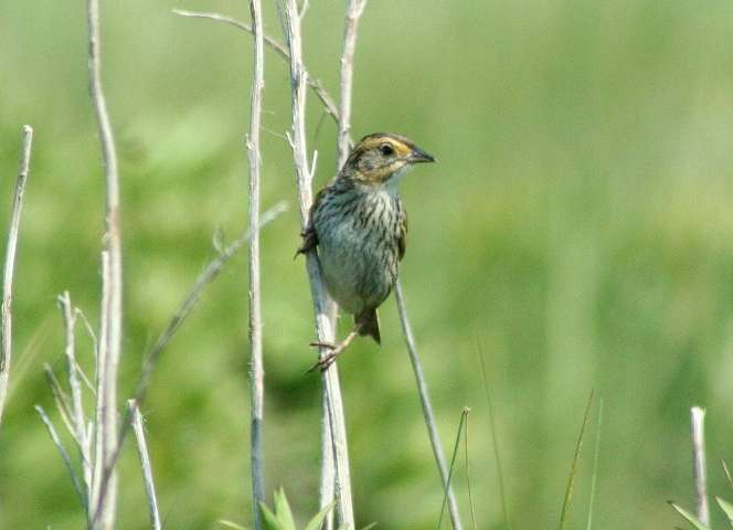 Species lines blur between two sparrows in New England's tidal marshes