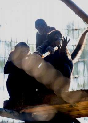 Spider monkeys point to new understanding of hand dominance