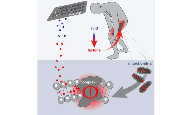 Statin side effects linked to off-target reaction in muscle mitochondria