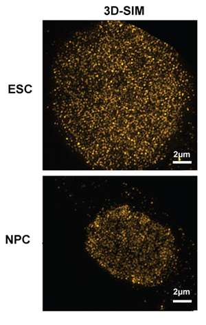 Stem cells have more reserves for DNA replication