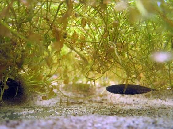 Sticklebacks urinate differently when nestbuilding