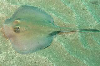Stingrays found to reproduce differently depending on geographical location