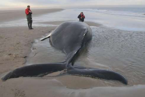 Stranded humpback whale 'Johanna' had microplastics in her stomach
