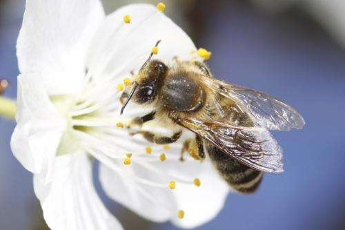 'Stressed' young bees could be the cause of colony collapse