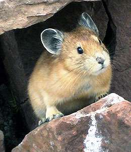 Study finds pikas may be able to behaviorally buffer against temperature changes