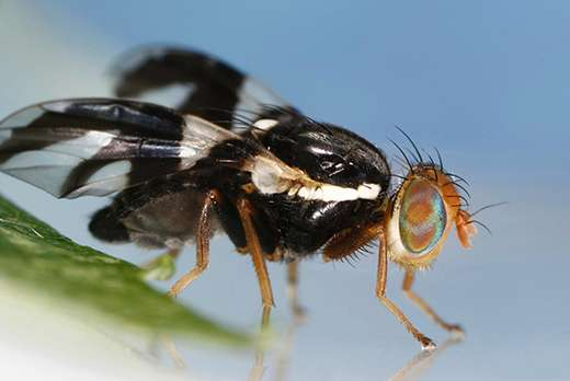Study finds recent agricultural pest stems from one fly generation's big genetic shift
