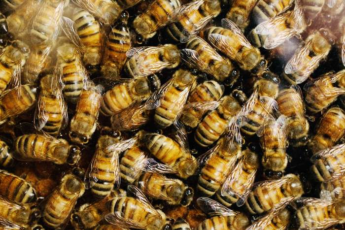 Study: Gene regulation underlies the evolution of social complexity in bees