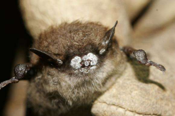Study IDs collagen-damaging protein in White Nose syndrome