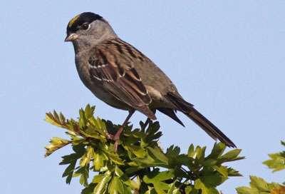 Study IDs key birds that host Lyme disease bacteria in California
