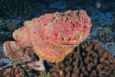 Studying stonefish venom may help combat transplant rejection