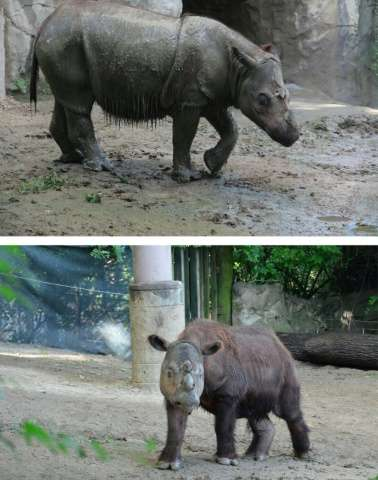 Suci (top), a female Sumatran rhino, and Harapan (below), a male, pictured on July 23, 2013 in photos courtesy Tom Uhlman (top)