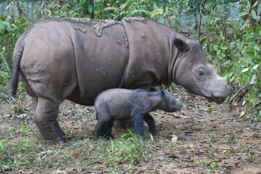 Sumatran rhino Ratu with her one-day old male baby Andatu beside her at the Sumatran Rhino Sanctuary in Way Kambas National Park