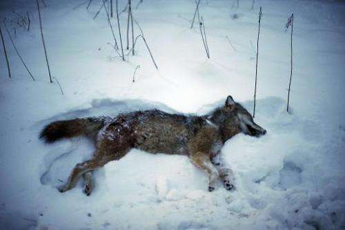 Sweden resumed wolf hunting in 2010 and 2011 as it sought to reduce the population from 400 to 270 animals