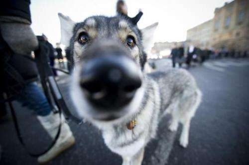 Swedish animal rights activists walk a wolfdog through Stockholm during a 2011 demonstration against a recently sanctioned wolf