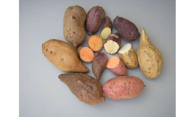 Sweet potato naturally expresses Agrobacterium genes