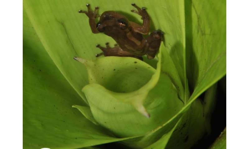 Teresensis' bromeliad treefrog found in Brazil
