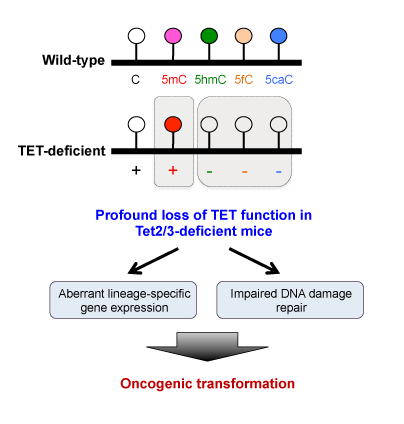TET proteins help maintain genome integrity