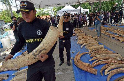 Thai customs officers carry confiscated elephant tusks during a press conference at the Customs Bureau in Bangkok on April 27, 2