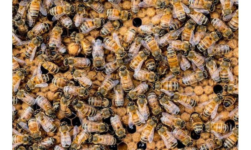 The continuing plight of the honeybee