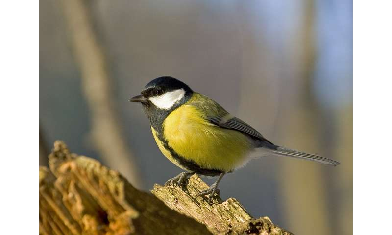 The great tit bird is less attractive due to exposure to heavy metals