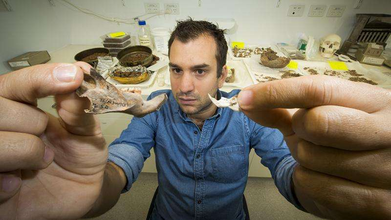 The largest to have existed - giant rat fossils