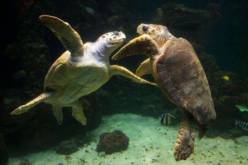 The lawsuit refers to loggerhead, seen here, green, leatherback, hawksbill and Kemp's ridley sea turtles