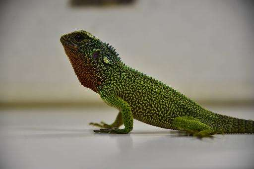 The newly-discovered lizards were found in the rainforests of the Tropical Andes region, where even more reptiles are likely wai