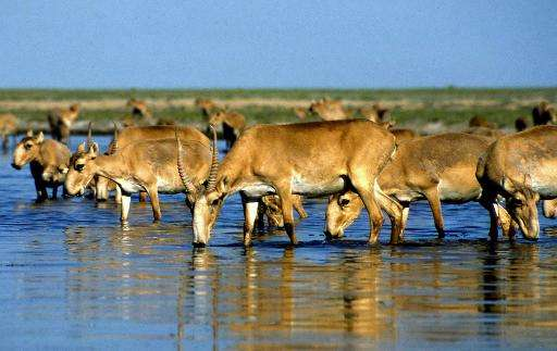 The sudden deaths of tens of thousands of endangered antelopes in ex-Soviet Kazakhstan over the past two weeks have left scienti