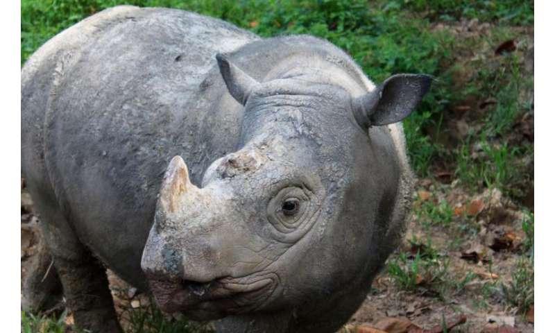 The Sumatran rhino is extinct in the wild in Malaysia