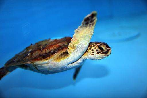 The US Fish and Wildlife Service proposed changing the status of green sea turtles, seen here, from endangered to threatened, on