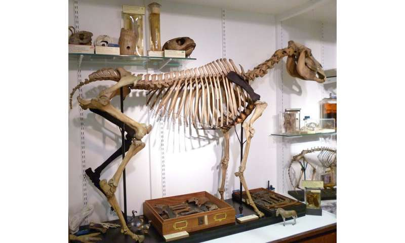 The world's rarest skeleton stands on four legs once again