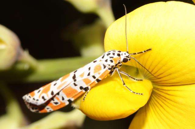 This gorgeous moth is an invasive plant's worst nightmare