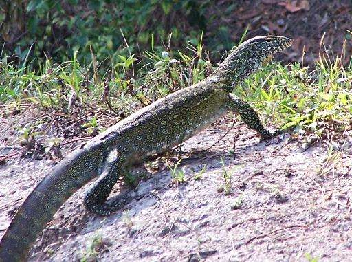 This photo obtained April 10, 2015 courtesy of the Florida Fish and Wildlife Conservation Commission shows a Nile monitor