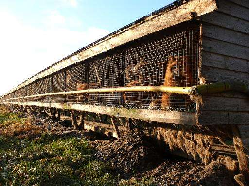 This undated handout photo made available by the Four Paws International group shows foxes at a fur farm at an undisclosed locat