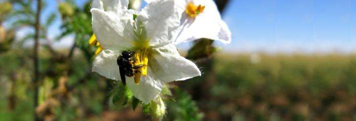 Threat posed by 'pollen thief' bees uncovered
