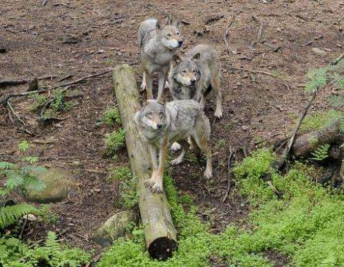 Three wolves stand in a pen at the Kolmarden Wildlife Park in Norrkoping, Sweden, June 18, 2012