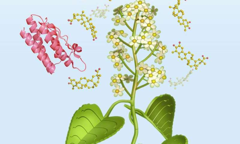 Thunder god vine used in traditional Chinese medicine is a potential obesity treatment