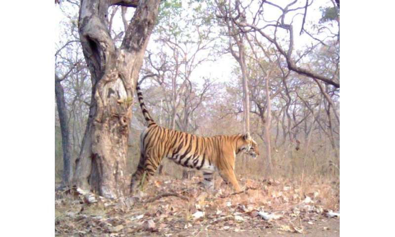 Tiger-spray DNA shown as valuable conservation tool