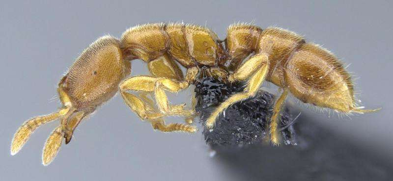 Tiny Dracula ants hunting underground in Madagascar and the Seychelles
