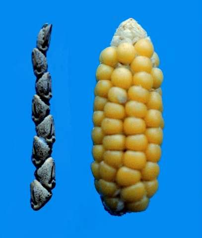 Tiny genetic tweak unlocked corn kernels during domestication