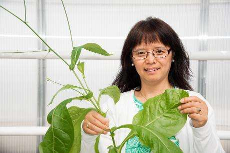 Tobacco plants may boost biofuel and biorefining industries